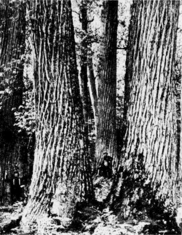 Native American Chestnut trees - notice the men standing to the left and in the middle background. Photo courtesy Forest History Society, Inc.