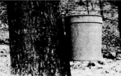 Bucket and tap on a sugar maple tree.