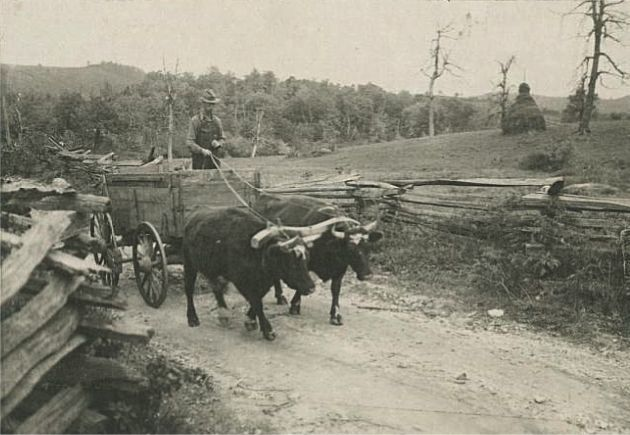 Image shows a man standing in a wooden cart that is being pulled by a team of two oxen. A wooden bow yoke is fitted to the neck of each ox to hold them together. They are traveling along what appears to be a dirt and gravel road, which is separated from the surrounding land by a fence on either side. In the background, behind one fence, there is a pasture with a haystack, and beyond the pasture many trees and the Blue Ridge Mountains are visible. Image was taken on a road that leads to Rock Castle Gorge, near Rocky Knob and near milepost 167.1 and Section 1S of the Blue Ridge Parkway. Image taken by Albert S. Burns on October 23, 1936.